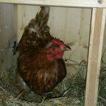 unsere Hühner legen fleißig Eier