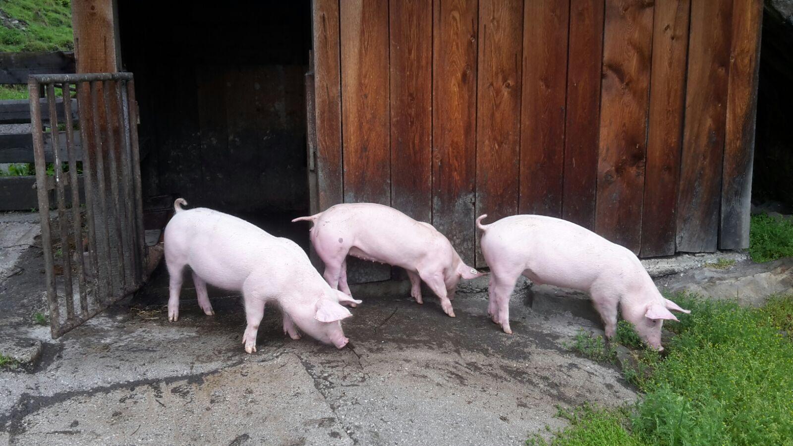 unsere Schweinchen im Sommer auf der Alm