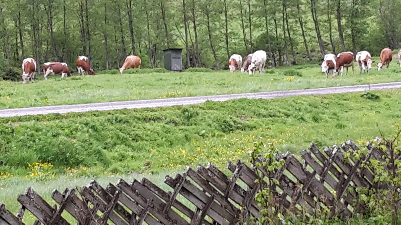 unsere Kühe auf der Alm im Käfertal