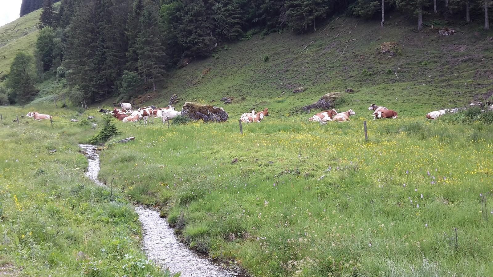 unsere Kühe relaxen auf der Alm
