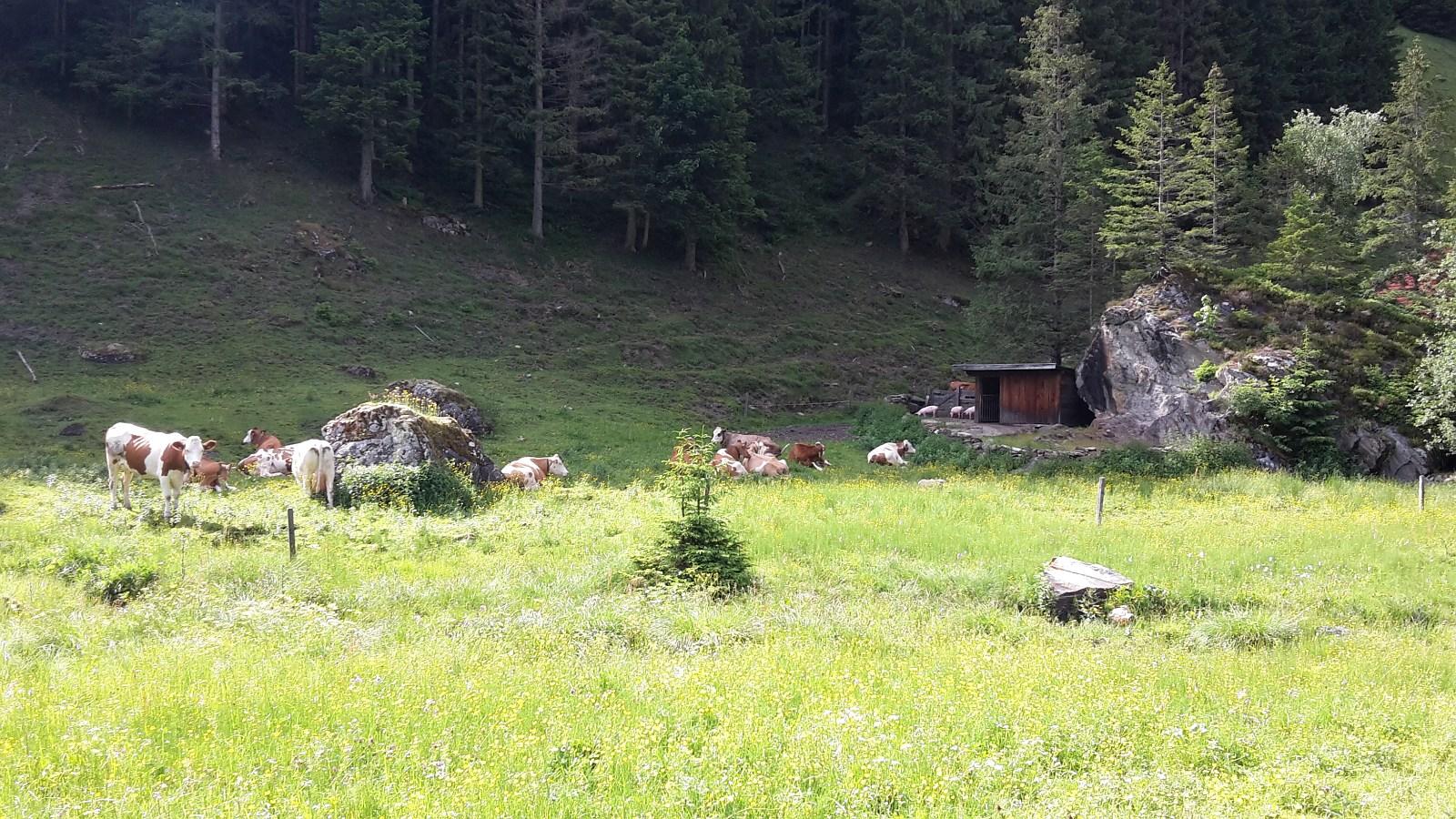 unsere Kühe und Schweinchen auf der Alm genießen das schöne Wetter